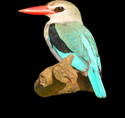 Mangrove Kingfisher: Wami River, Saadani National Park