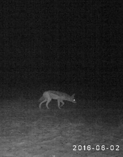 A black-backed jackal in Kgalagadi - caught on camera with the Bushnell Natureview Cam HD