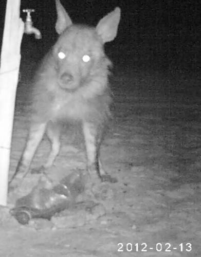 What lurks outside your tent at night? In this case a brown hyena in the Kgalagadi Transfrontier Park.