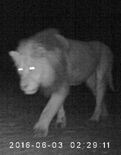 A big male lion roaming around outside our team's tent in Kgalagadi, as recorded by our Bushnell Natureview Cam HD