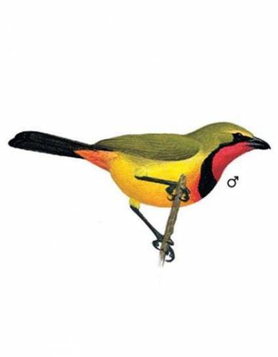 This book features detailed illustrations (such as this image of the Gorgeous Bush Shrike) for ease of use as a reference text in the field.