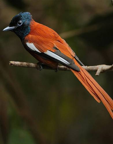The Paradise Flycatcher - one of Africa's most beautiful birds.