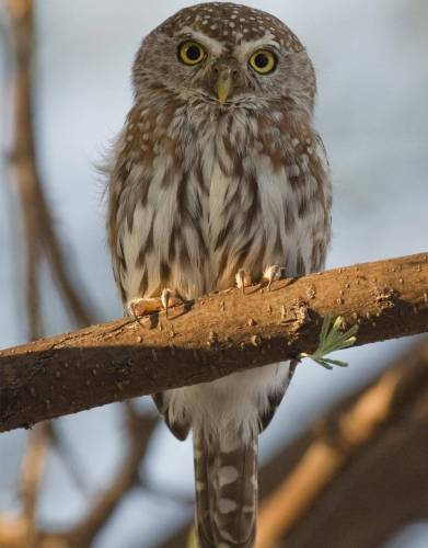 The Pearl Spotted Owl