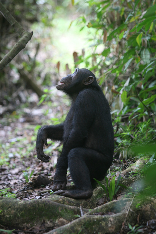 Chimpanzee in Mahale National Park, Tanzania