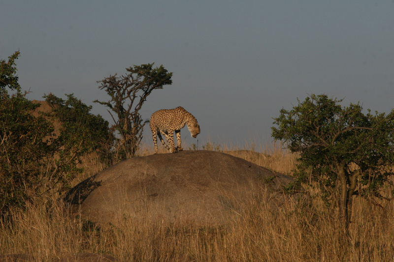 Cheetah on rock in northern Serengeti