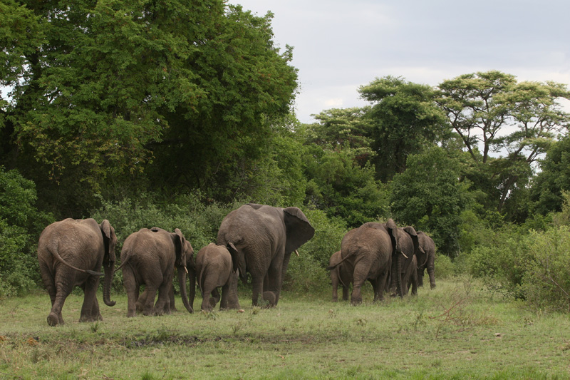 Elephants walking into a forest in Grumeti, Tanzania