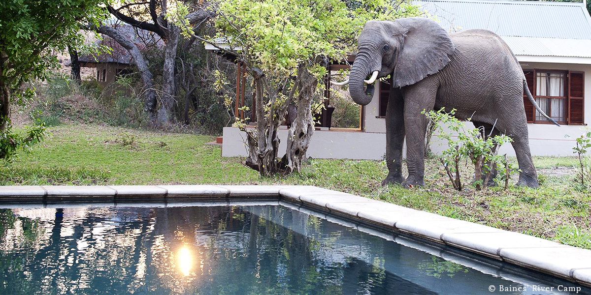 An elephant with white tusks grazing in the bush around the pool and lodge at Baines' River Camp, Lower Zambezi, Zambia