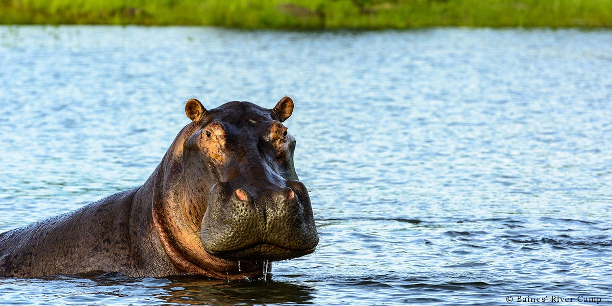 A single hippo with its head and shoulders out of the water in the Zambezi River on safari at Baines' River Camp, Zambia