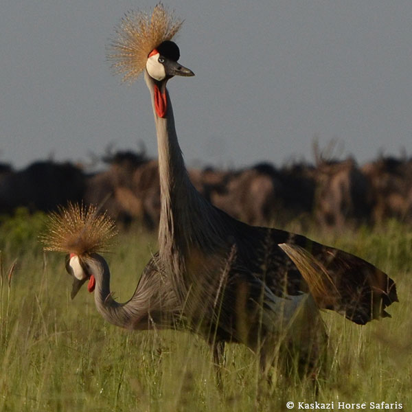 A pair of crowned cranes in the grass, spotted while bird-watching on a horse safari with Kaskazi in Tanzania