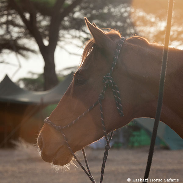 The profile of the head of a chestnut horse wearing a rope halter with a tent in the background on horse safari in Tanzania