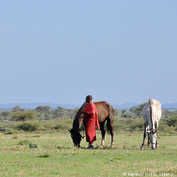 Kenyan groom in a red shuka standing with a grazing horse, a grey horse grazing behind him with a backdrop of hills and trees
