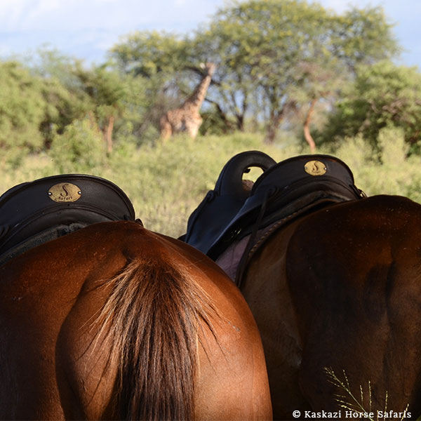 The rear of two saddled chestnut horses with a giraffe among the trees and bush in front of them on horse safari with Kaskazi