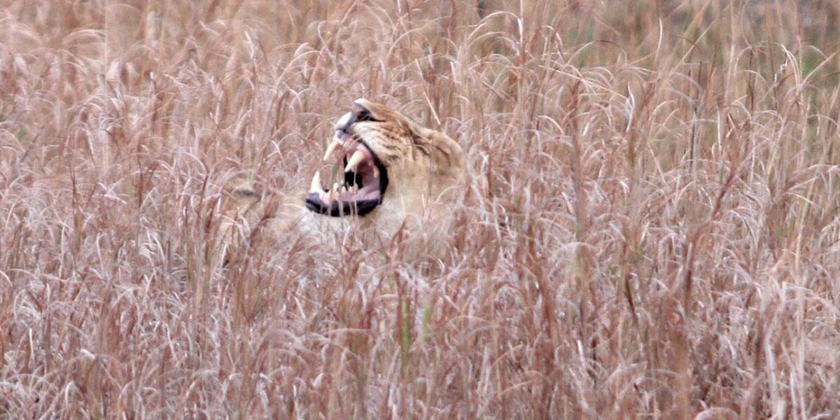 A yawning lion lying in tall savanna grass
