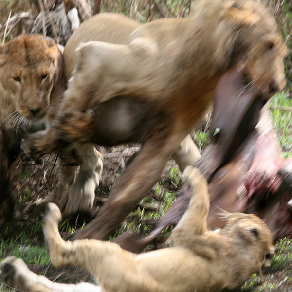 Three lions tearing at the carcass of a hippo near Chada Katavi Camp in Tanzania