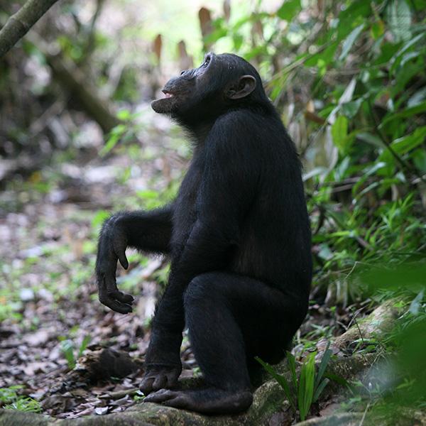 A chimpanzee in the Mahale Mountains in Tanzania