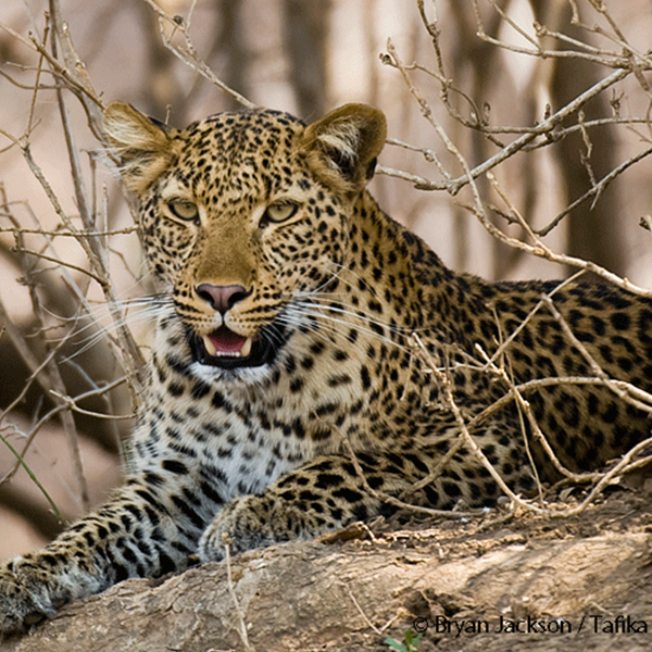 Panting leopard with long white whiskers lying amongst some stick branches spotted on safari at Tafika, Luangwa Valley