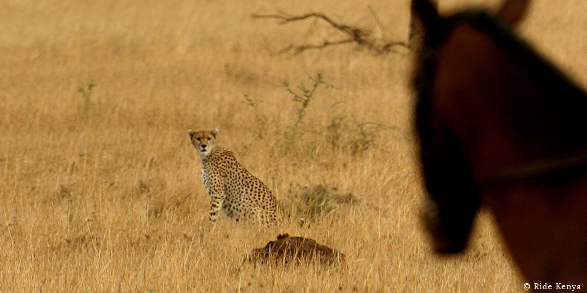 Sighting of a cheetah sitting in the grass while game-viewing on a horse safari with Ride Kenya