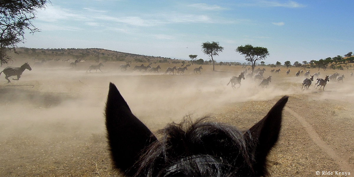 A herd of zebra running across a plain in a cloud of dust through the ears of a horse on a horse safari with Ride Kenya