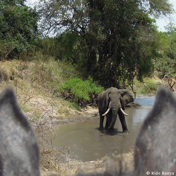 Elephant bull with curved white tusks in a private waterhole, viewed between the ears of a horse on a horse safari in Kenya