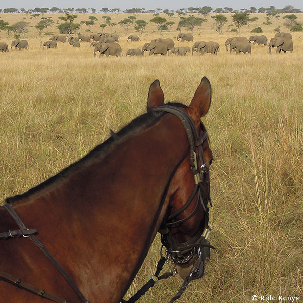 A bay horse standing in a grassy plain with a breeding herd of elephants walking past on a horse safari with Ride Kenya
