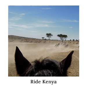 Herd of zebra running in a cloud of dust through a plain, seen through the ears of a horse on a horse safari with Ride Kenya