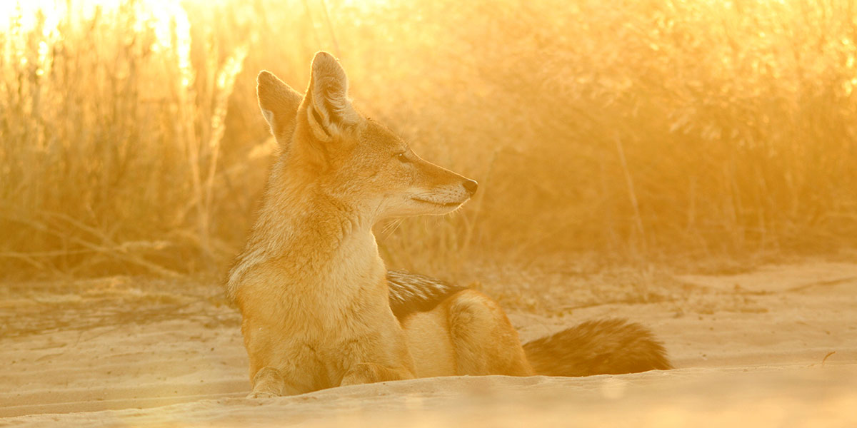 A black-backed jackal lying down in the desert sand with golden lighting in the Kgalagadi Transfrontier Park in Botswana