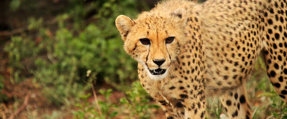 A cheetah, one of the big cats of Africa, walking through the bush at Thanda Private Game Reserve.