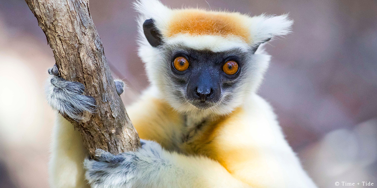 A lemur gripping a branch – one of the species to see on a blue safari at Time + Tide Miavana, Nosy Ankao, Madagascar