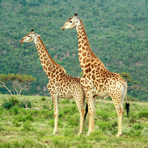 Giraffe are common residents around Fugitives Drift.