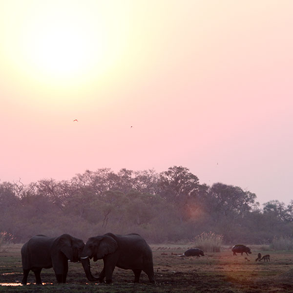 Two elephants play-fighting in the mud against a pink afternoon sky. Hippos and other animals are grazing in the distance.