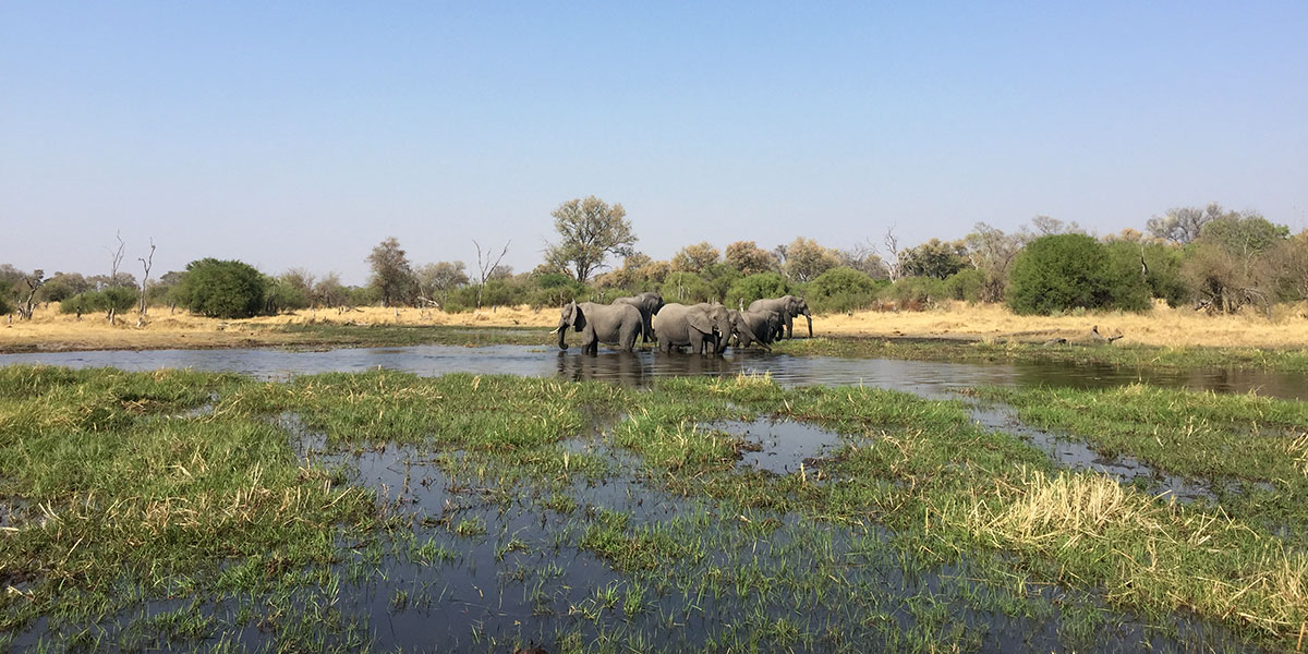 A small herd of elephants cooling themselves in the murky waters of the Okavango Delta