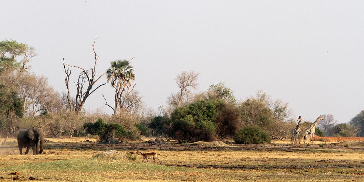 A safari scene with an elephant, lechwe antelope and giraffe in a savanna landscape