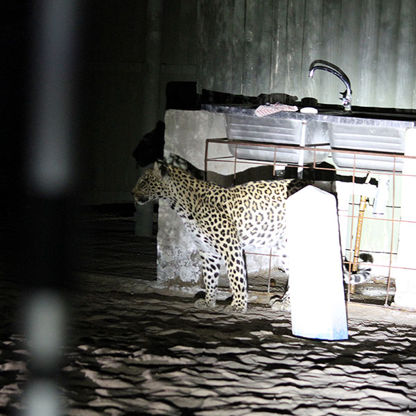 A leopard standing in a campsite under a metal sink in the desert sand in Kgalagadi Transfrontier Park Botswana