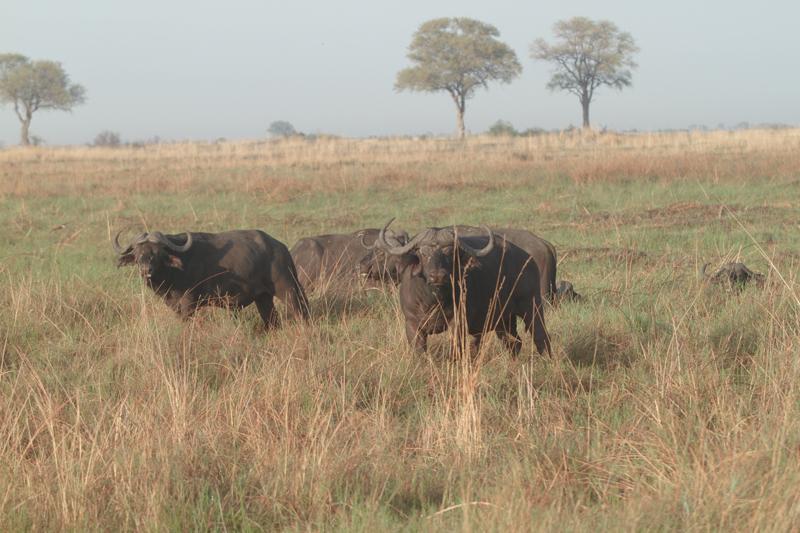 Nkasa Rupara buffalo bulls grazing
