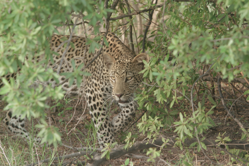 Nkasa Rupara leopard in pretty bushes