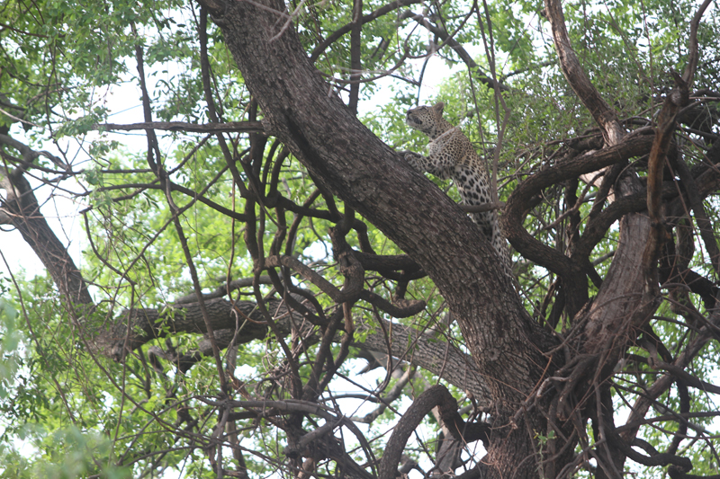 Nkasa Rupara leopard in jackalberry tree