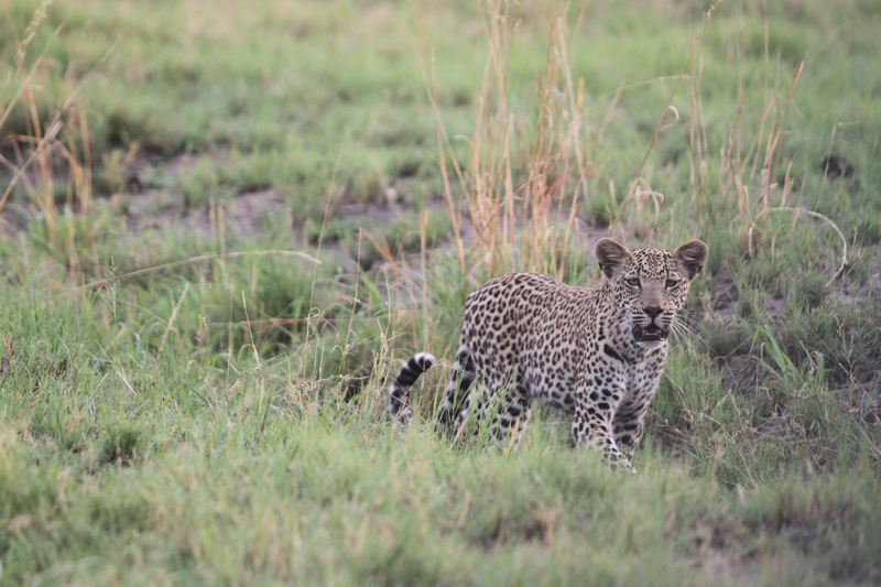 Nkasa Rupara leopard in hippo channel