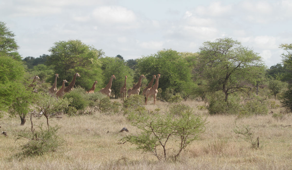 Kruger Park Self Drive Safari Tips: Giraffe staring in one direction is a good sign that a predator is close by