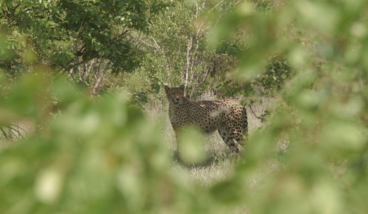 Kruger Park Self Drive Safari Tips: Cheetah in the Timbavati River Area