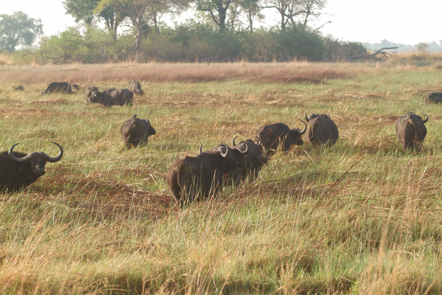Buffalo herd, Nkasa Rupara National Park, Namibia