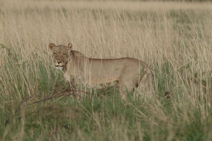 Lioness, Nkasa Rupara National Park, Namibia
