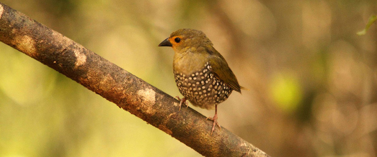A pretty green twinspot bird perched on a branch