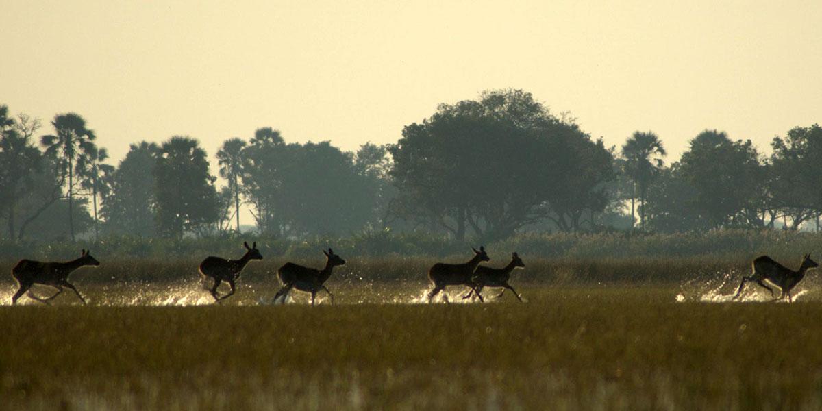 Lechwe running through shallow water in the Okavango Delta, Botswana