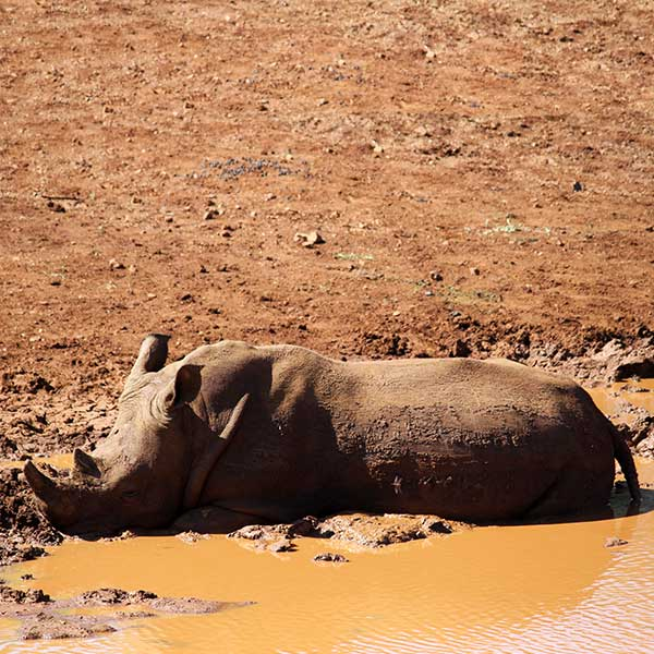 A white rhino at Thanda safari lying in muddy water to cool off from the African summer heat
