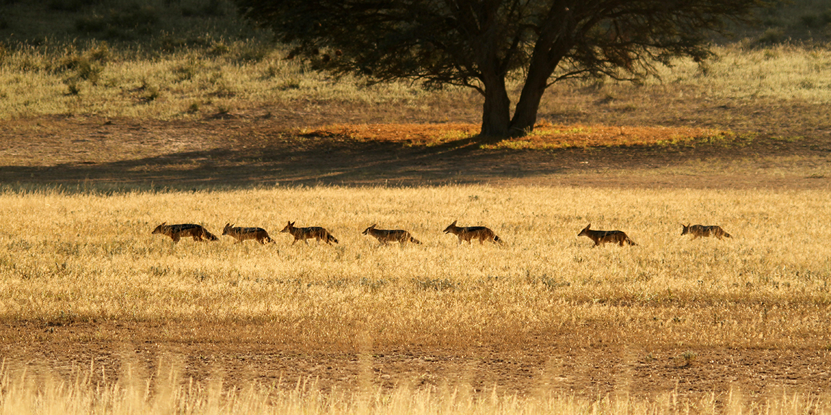 Family of jackal in the Kgalagadi Transfrontier Park
