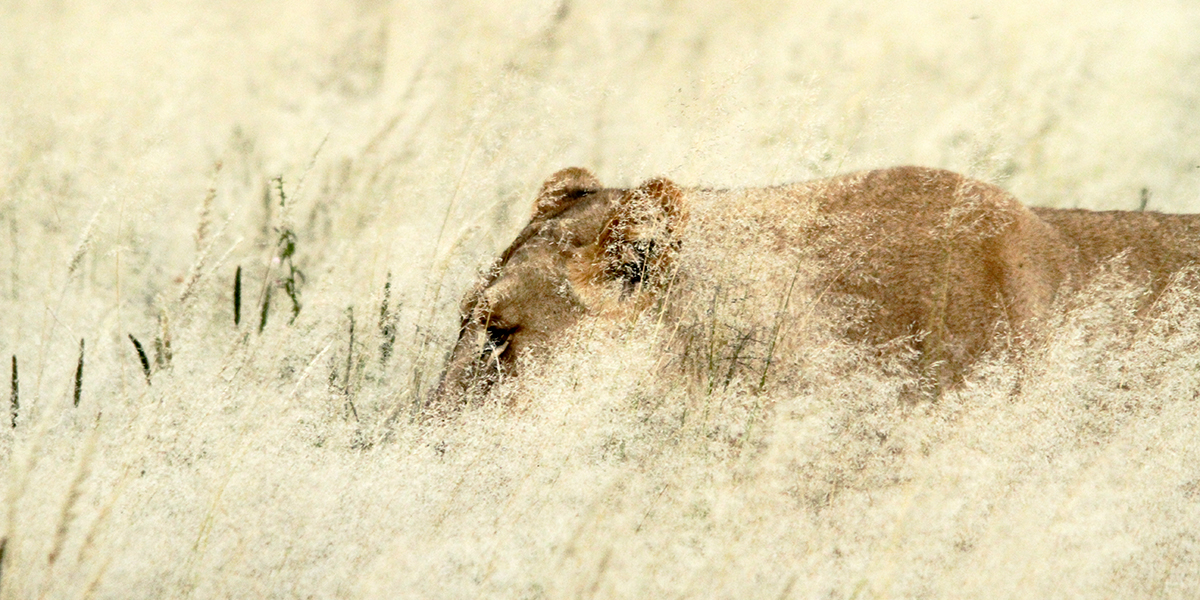 Lioness in the Kalahari desert grass