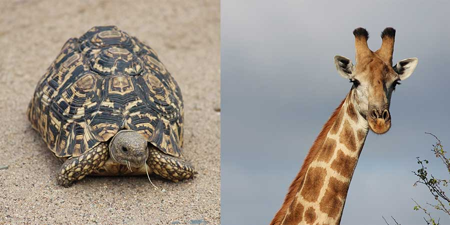 An image of a tortoise and a giraffe, two animals which lick or chew bones to increase their calcium levels