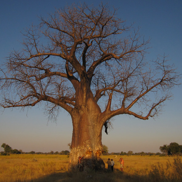 A group of men stand under a large baobab in the Okavango Delta in Botswana. There are marks on the tree from elephants..