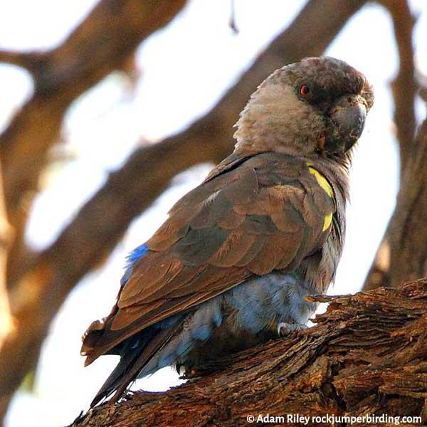 A Ruepell's Parrot