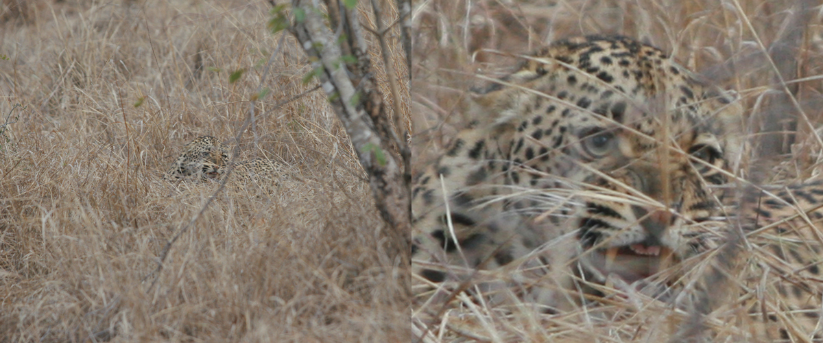 Two images of a growling leopard; one from far away and one up close showing the benefit of having binoculars on safari.